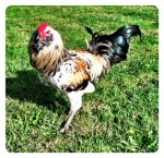 rooster - Copy